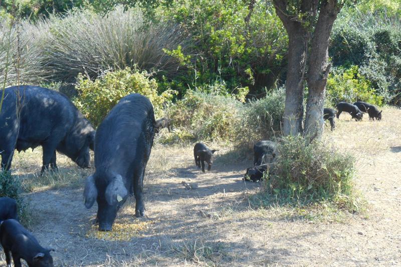 Αυτόχθονος μαύρος  χοίρος με μέλλον, από το  Αιτωλικό - Χρυσοί Σκούφοι