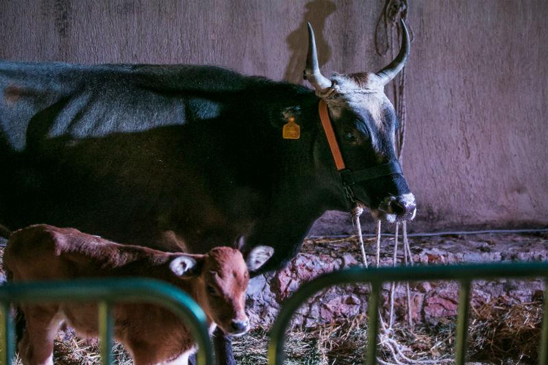 Το project «Wise Food» φέρνει στο προσκήνιο την αγελάδα της αρχαίας στεπικής φυλής Κατερίνης που διέσωσε η Κιβωτός του Δήμου.